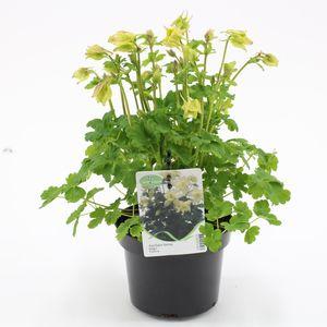 Aquilegia 'Spring Magic Yellow' (Kwekerij Baas)