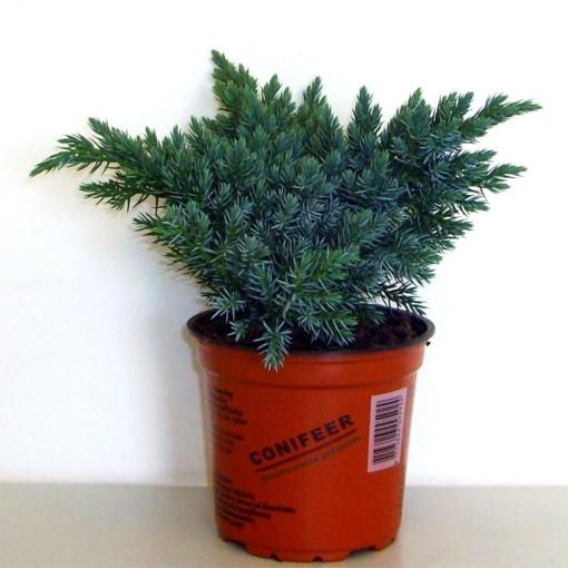 Juniperus squamata 'Blue Star' (Boomkwekerij Potcultuur Gebr. Rademaker)