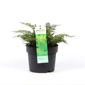 Polystichum setiferum 'Divisilobum Iveryanum' (Hoogeveen Plants)