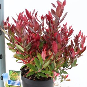 Leucothoe 'Little Flames'