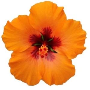 Hibiscus rosa-sinensis 'Petit Orange'