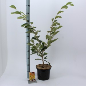 Hamamelis x intermedia 'Arnold Promise' (About Plants Zundert BV)