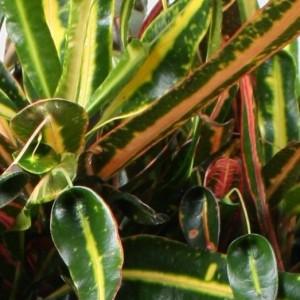 Codiaeum variegatum GOLDEN BELL (Vireõ Plant Sales)