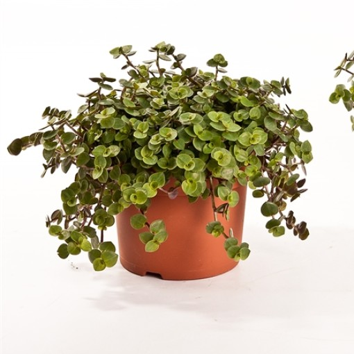 Callisia 'Turtle' (Bunnik Plants)