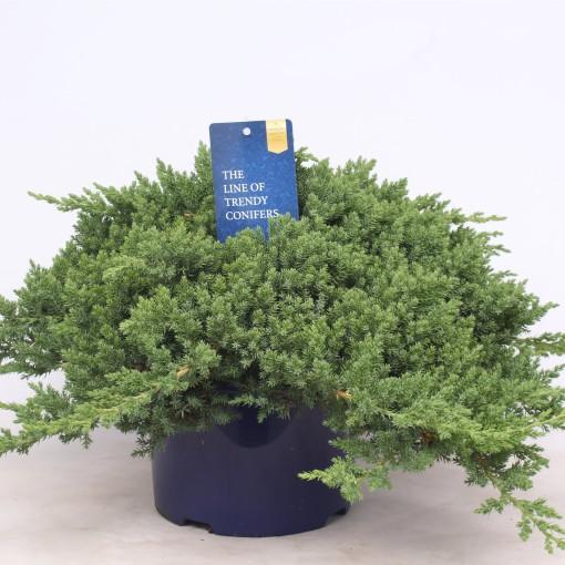 Juniperus procumbens 'Nana' (Vredebest, Kwekerij )