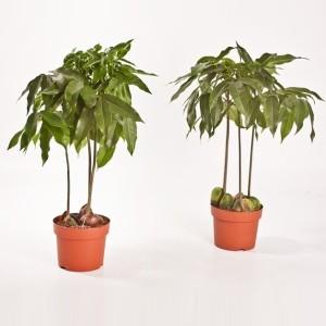 Castanospermum australe CASTANO'S (Bunnik Plants)