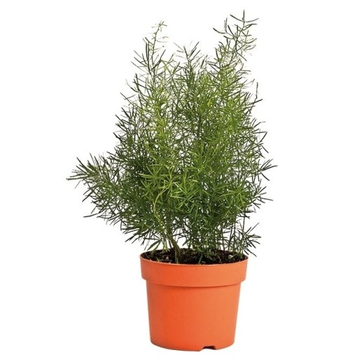 Asparagus densiflorus 'Sprengeri' (Bunnik Plants)