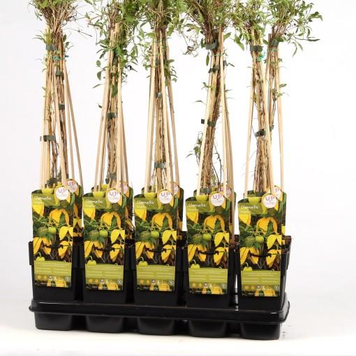 Clematis tangutica (Hoogeveen Plants)
