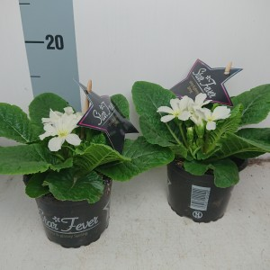 Primula vulgaris STAR FEVER