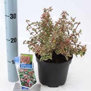 Abelia x grandiflora MAGIC DAYDREAM (About Plants Zundert BV)