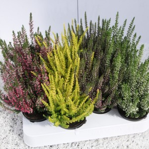 Calluna vulgaris BEAUTY LADIES MIX (Experts in Green)