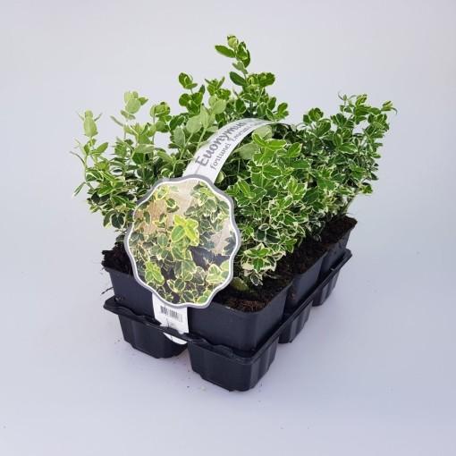 Euonymus fortunei 'Emerald Gaiety' (Sneijers Boomkwekerij)