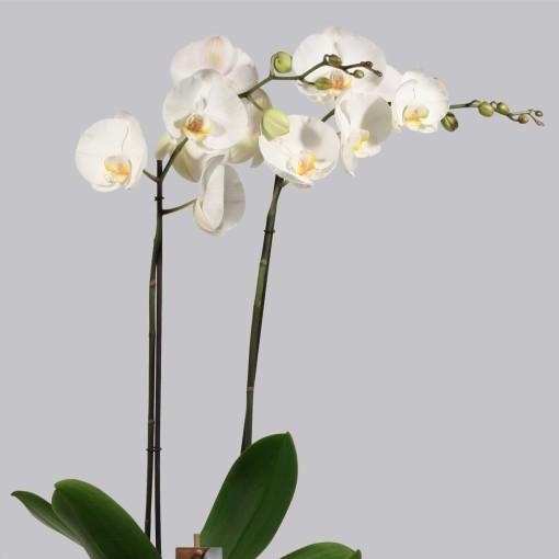 Phalaenopsis 'Ikaria' (Duijn-Hove B.V. , Kwekerij)