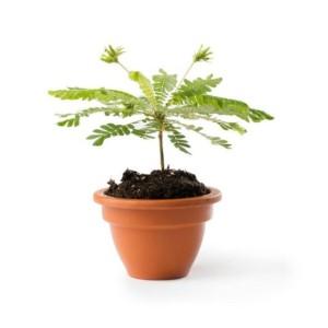 Biophytum sensitivum (JM plants)