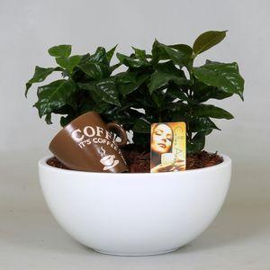 Arrangements Coffea