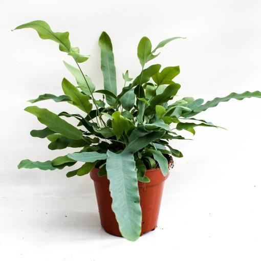 Phlebodium aureum 'Blue Star' (Ruhé Varens B.V.)