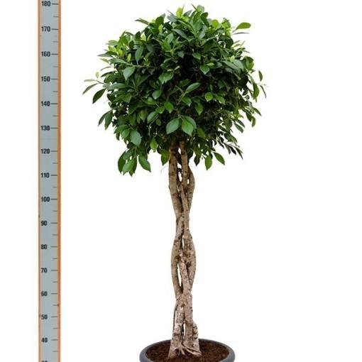 Ficus nitida (Nieuwkoop Europe B.V.)