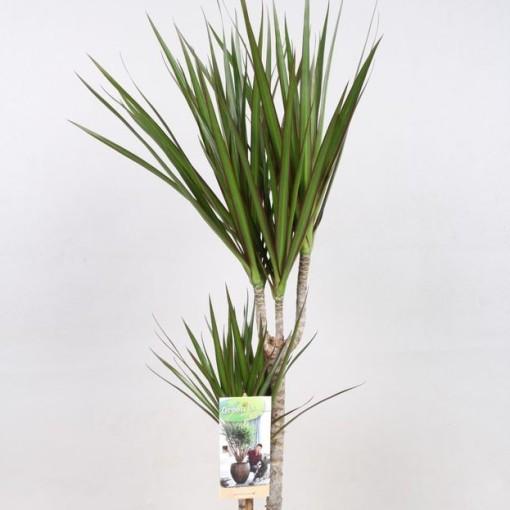 Dracaena marginata (Vireõ Plant Sales)