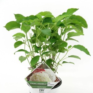 Hydrangea arborescens STRONG ANNABELLE / INCREDIBALL