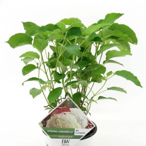 Hydrangea arborescens STRONG ANNABELLE / INCREDIBALL (Van den Dool Plant BV)