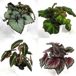 FA Begonia SELECTION #250