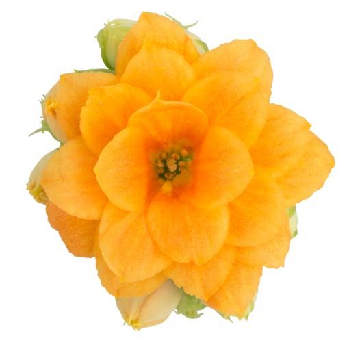 Kalanchoe blossfeldiana ROSE FLOWERS ARIEL (Queen - Knud Jepsen a/s)