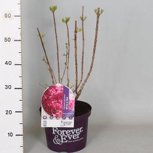 Hydrangea paniculata WHITE-RED