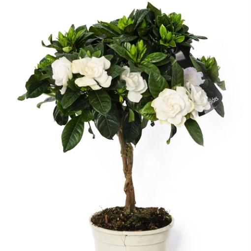 Gardenia jasminoides (Bunnik Plants)