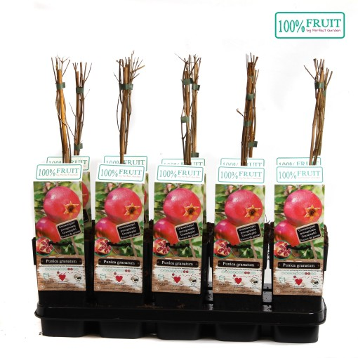 Punica granatum (Hoogeveen Plants)