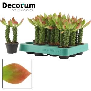 Euphorbia guentheri 'Rouge'
