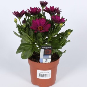 Osteospermum 'Sunny Mary' (Endhoven Flowering Plants)