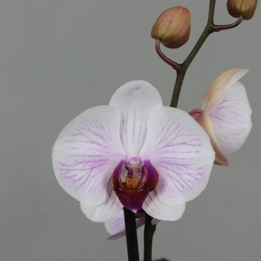 Phalaenopsis ANTHURA DENVER (Leerdam Orchideeën)