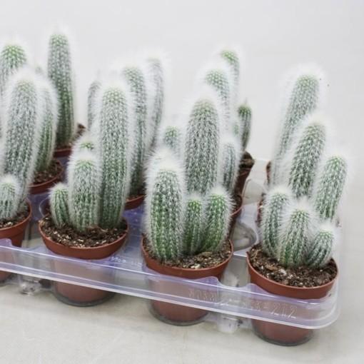Cleistocactus straussii (Ubink)