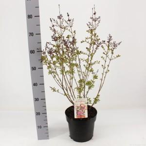 Syringa 'Red Pixie' (Snepvangers Tuinplanten BV)