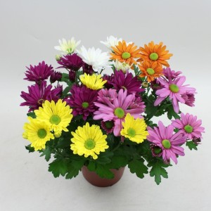 Chrysanthemum MIX IN POT (Gebr Nederpel Potplanten)