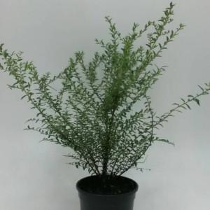 Lonicera nitida 'Silver Beauty' (WTM de Boer)