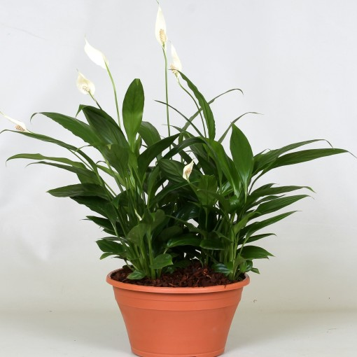 Spathiphyllum wallisii (Groot BV, Kwekerij J. de )