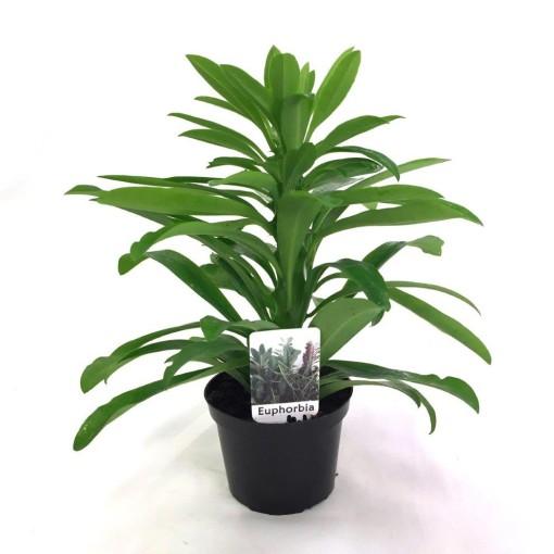 Euphorbia neriifolia (Gasa DK)