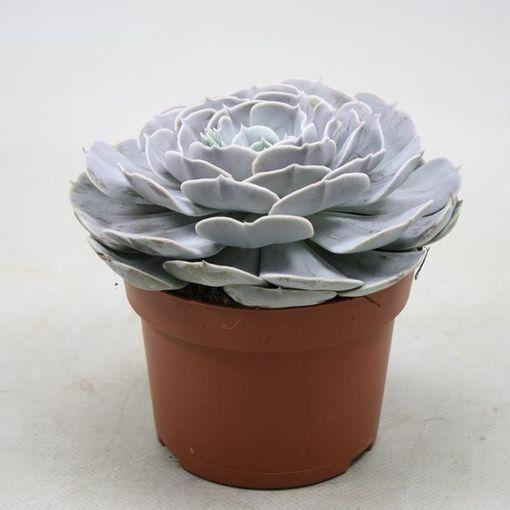 Echeveria 'Pollux' (Ubink)
