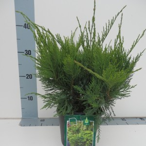 Juniperus x pfitzeriana 'Mint Julep'