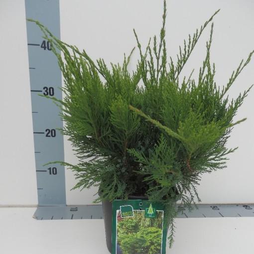 Juniperus x pfitzeriana 'Mint Julep' (Koekoek Potcultures, de)