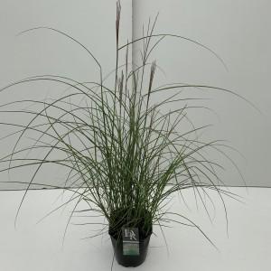 Miscanthus sinensis 'Kleine Silberspinne' (Cammeraat Potcultuur)