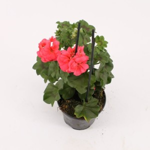 Pelargonium ROYAL SALMON