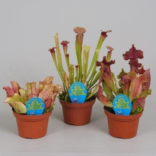 Sarracenia MIX (Stricker Plants)