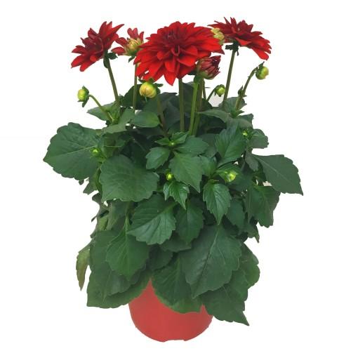 Dahlia DAHLINOVA HYPNOTICA RED (JK Plant)
