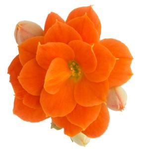 Kalanchoe blossfeldiana ROSE FLOWERS NELLY (Queen - Knud Jepsen a/s)