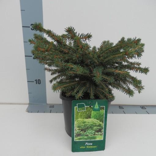 Picea abies 'Nidiformis' (De Koekoek Potcultures)