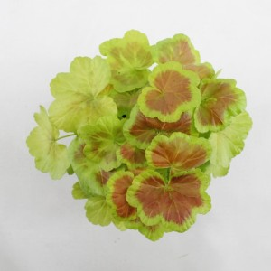Pelargonium 'Occold Shield'