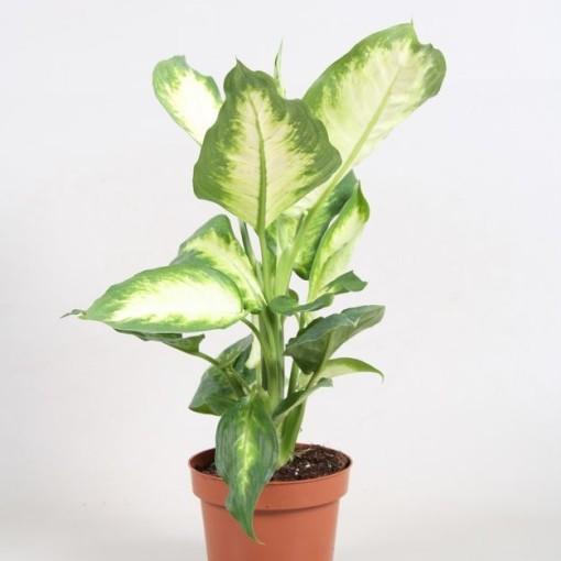 Dieffenbachia 'Camilla' (Vireõ Plant Sales)