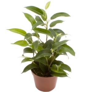 Ficus benjamina 'Natasja'